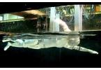 Построен робот-пловец Swumanoid