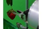 Японский робот собирает клубничку