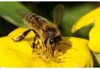 Искусственные пчёлы спасут человечество